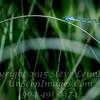Blue Dragonfly - Copyright 2016 Steve Leimberg - UnSeenImages Com _Z2A8664