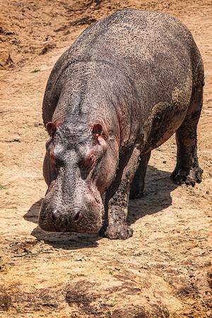 Baby Hippo Copyright 2021 Steve Leimberg UnSeenImages Com _DSC7885