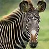 Zebra White Oak - Copyright 2016 Steve Leimberg - UnSeenImages Com _20110328_1617