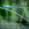 Blue Dragonfly - CLOSE-UP - Copyright 2016 Steve Leimberg - UnSeenImages Com _Z2A8664
