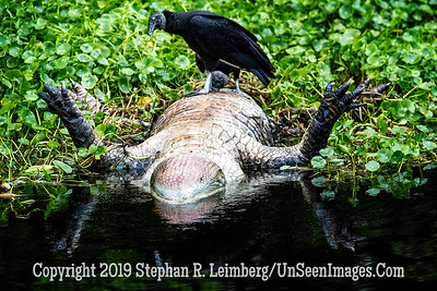 Gator's Demise Vulture's Feast Copyright 2019 Steve Leimberg UnSeenImages Com _A6I0244