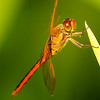 Red Dragonfly - Copyright 2016 Steve Leimberg - UnSeenImages Com _A6I4185