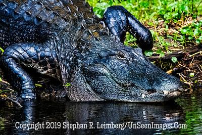Gator Copyright 2019 Steve Leimberg UnSeenImages Com _A6I7811