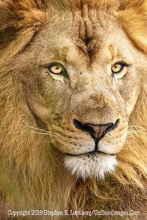King of the Beasts - Copyright 2019 Steve Leimberg UnSeenImages Com _Z2A0314
