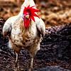 Not a Tender Chicken - Copyright 2016 Steve Leimberg - UnSeenImages Com _Z2A6017