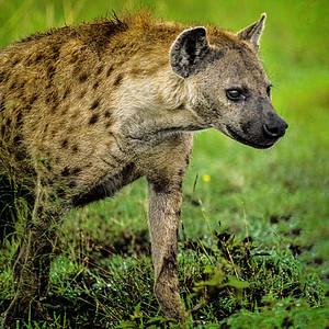 Wild Dog Kenya Copyright 2021 Steve Leimberg UnSeenImages Com _DSC8609