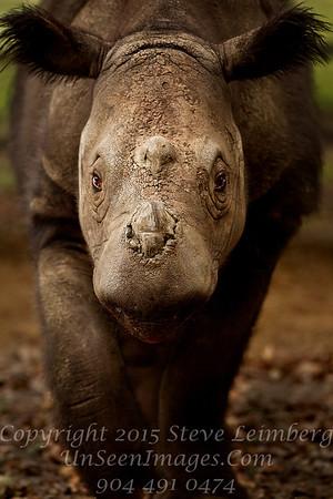 Rhino Charging White Oak - Copyright 2016 Steve Leimberg - UnSeenImages Com _20110328_1643