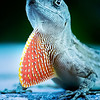 Red Tie Anole - Copyright 2016 Steve Leimberg - UnSeenImages Com _A6I7263