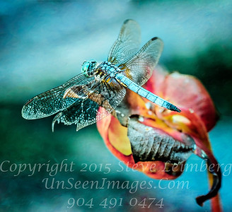 Dragonfly Copyright 2017 Steve Leimberg UnSeenImages Com _DSF6307