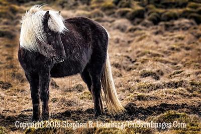 Icelandic Horse Copyright 2019 Steve Leimberg UnSeenImages Com _Z2A6726