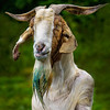 Billy Goat GRUFF - Copyright 2014 Steve Leimberg - UnSeenImages Com _H1R2879