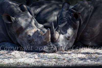 Loving Rhinos - Copyright 2016 Steve Leimberg - UnSeenImages Com  _L8I4889