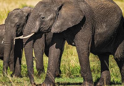 Elephants Copyright 2021 Steve Leimberg UnSeenImages Com _DSC6813