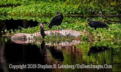 Gator's Demise Vulture's Feast Copyright 2019 Steve Leimberg UnseenImages Com _A6I0198