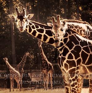 Hugging Giraffes - Copyright 2016 Steve Leimberg - UnSeenImages Com _Z2A9848