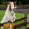 Billy Goat Gruff - Copyright 2015 Steve Leimberg - UnSeenImages Com _H1R2914