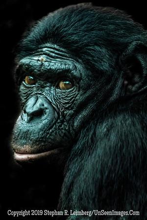 Bonobo  Copyright 2019 Steve Leimberg UnSeenImages Com Z2A0438