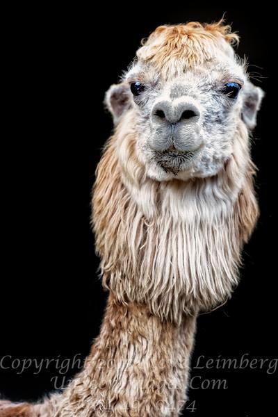 Sweet Lips Alpaca - Copyright 2016 Steve Leimberg - UnSeenImages Com _Z2A6534