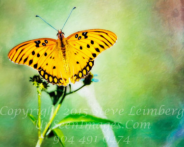 Butterfly - Copyright 2016 Steve Leimberg - UnSeenImages Com _A6I1031
