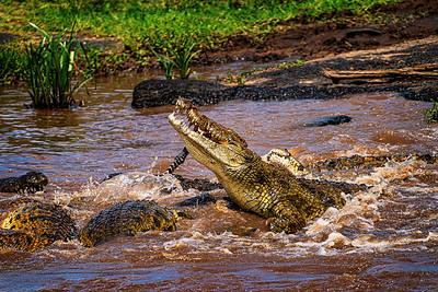Alpha Croc Copyright 2020 Steve Leimberg UnSeenImages Com _DSC5460