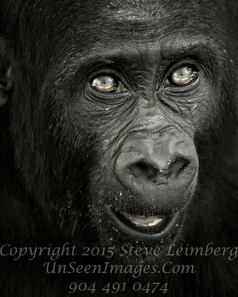 Baby Gorilla - B&W Copyright 2016 Steve Leimberg - UnSeenImages Com _A6I5758