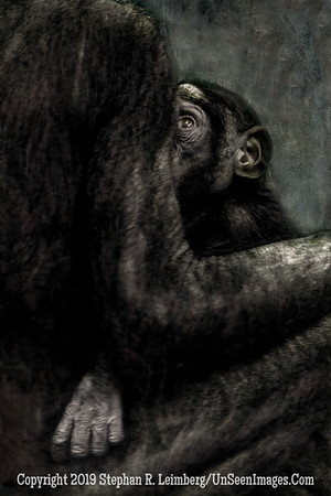 Bonobo and Mom Copyright 2019 Steve Leimberg UnSeenImages Com _Z2A0469