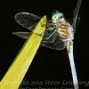 Dragonfly - UP CLOSE - 24 X 30 Copyright 2016 Steve Leimberg - UnSeenImages Com _Z2A8115