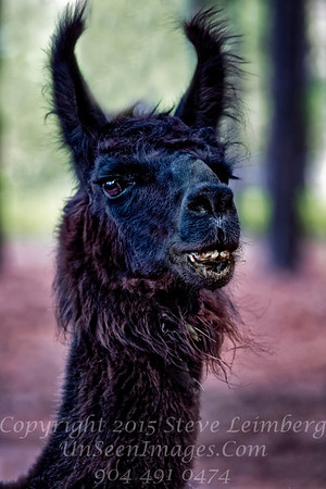 Black Lama NaVera Farms - Copyright 2016 Steve Leimberg - UnSeenImages Com _Z2A6134