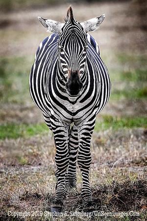 Kenya Zebra Copyright 2021 Steve Leimberg UnSeenImages Com _Z2A3828