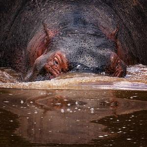 Hippo Submerging Copyright 2021 Steve Leimberg UnSeenImages Com _DSC8007