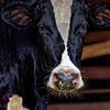 No Bull Bull - Copyright 2016 Steve Leimberg - UnSeenImages Com _Z2A6485_DxO