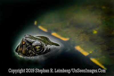 Turtle Copyright 2019 Steve Leimberg UnSeenImages Com _A6I1281