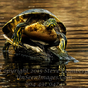 Turtle on a throne - Copyright 2015 Steve Leimberg - UnSeenImages