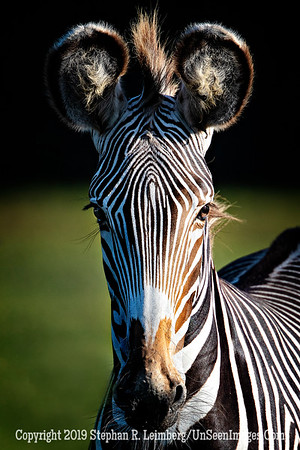 The Zebra That Loved Me - Copyright 2018 Steve Leimberg UnSeenImages Com _Z2A0065