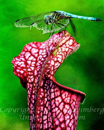 Dragonfly Copyright 2017 Steve Leimberg UnSeenImages Com _DSF6255