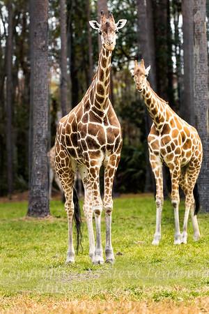 Two Giraffes - Copyright 2016 Steve Leimberg - UnSeenImages Com _A6I4531