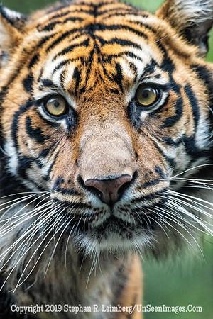 Tiger Burning Bright Copyright 2019 Steve Leimberg UnSeenImages Com _A6I9766