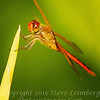 Red Dragonfly - PAINTING - Copyright 2016 Steve Leimberg - UnSeenImages Com _A6I4144