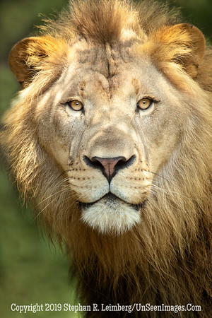 Lion - Copyright 2018 Steve Leimberg UnSeenImages Com _A6I5365