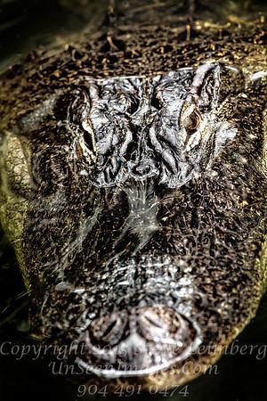 Alligator - Copyright 2016 Steve Leimberg - UnSeenImages Com _Z2A9378