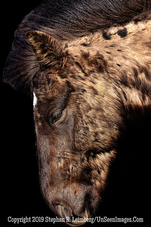 Icelandic Horse Profile Copyright 2019 Steve Leimberg UnSeenImages Com _Z2A7837