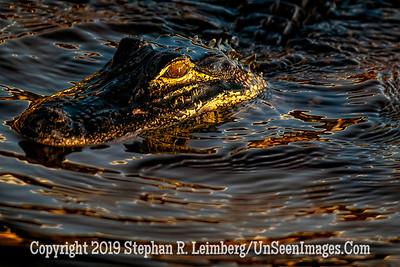 Gator at Sunset Copyright 2019 Steve Leimberg UnSeenImages Com _A6I8501