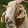 Billy Goat GRUFF - Celestial Farms - Copyright 2015 Steve Leimberg - UnSeenImages Com _H1R2882