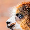 Queen of the Alpacas - Copyright 2016 Steve Leimberg - UnSeenImages Com _Z2A6259