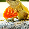 Red Tie Anole II - Copyright 2016 Steve Leimberg - UnSeenImages Com _A6I6830