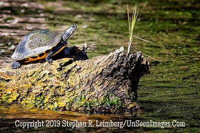 Turtle Copyright 2019 Steve Leimberg UnSeenImages Com _A6I9028