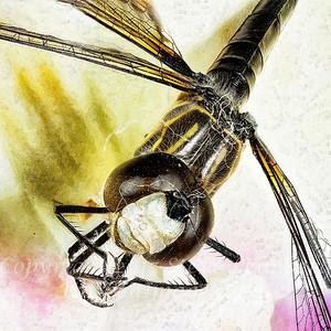 Dragonfly II - Copyright 2016 Steve Leimberg - UnSeenImages Com 2016-12-22 13-04-41 (C)