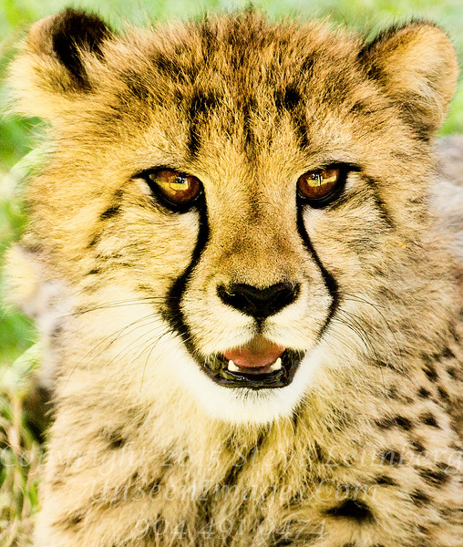 Cheetah Cub White Oak Copyright 2016 Steve Leimberg - UnSeenImages Com  _L8I4919