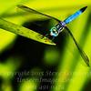 Dragonfly - Copyright 2016 Steve Leimberg - UnSeenImages Com _Z2A8217