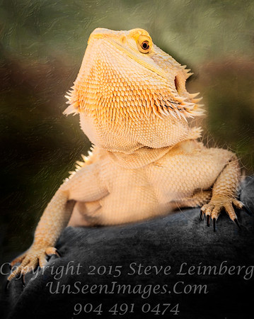 Puff the Bearded Dragon - Copyright 2017 Steve Leimberg UnSeenImages Com _DSF8466